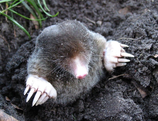 what does a rat burrow look like